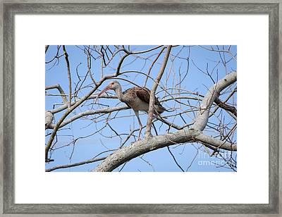 Juvenile Ibis Framed Print