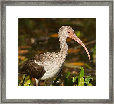 Juvenile Ibis In The Mangroves 2 Framed Print by Natural Focal Point Photography