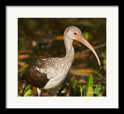 Jn Ding Darling National Wildlife Refuge Framed Prints