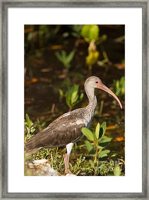 Juvenile Ibis In The Mangroves Framed Print by Natural Focal Point Photography