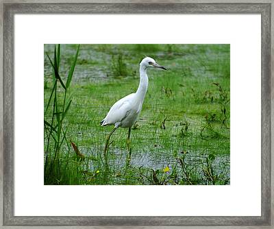 Juvenile Little Blue Heron In Search Of Food Framed Print