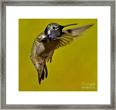 Framed Print featuring the photograph Juvenile Male Allen Hummingbird In Flight Ready To Land by Jay Milo