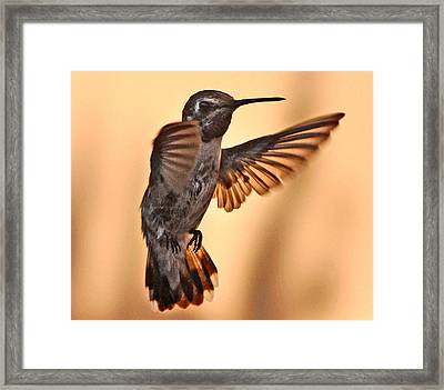 Juvenile Male Anna's In Flight Framed Print