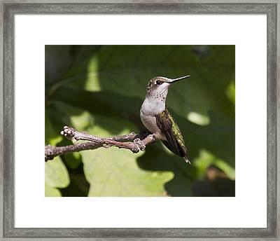 Juvenile Male On Perch Framed Print