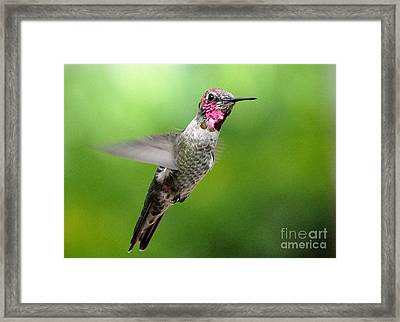 Framed Print featuring the photograph Juvenile Male Anna's In Flight by Jay Milo