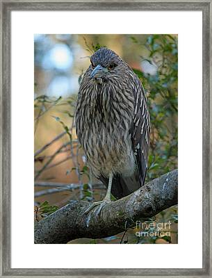 Juvenile Night Heron Framed Print by Suzanne Gaff
