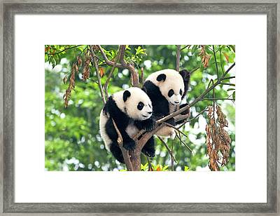 Juvenile Pandas In A Tree Framed Print by Tony Camacho