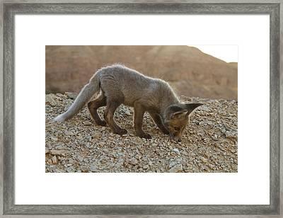 Juvenile Red Fox (vulpes Vulpes) Framed Print