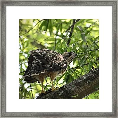 Juvenile Red Shouldered Hawk - 06.12.2014 Framed Print by Jai Johnson