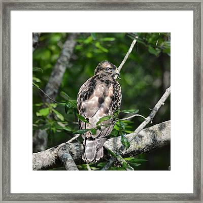 Juvenile Red Shouldered Hawk 06.13.2014 Framed Print by Jai Johnson