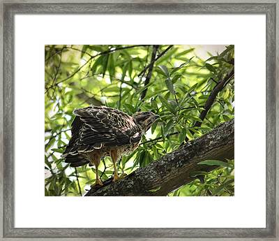 Juvenile Red Shouldered Hawk On Branch Framed Print by Jai Johnson