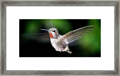 Juvenile Red Thoated Hummingbird Framed Print by Jay Milo