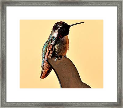 Framed Print featuring the photograph Juvenile Rufus Hummingbird Sitting It Out by Jay Milo