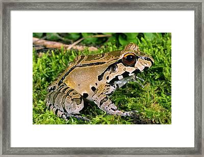 Juvenile Smoky Jungle Frog Framed Print by Dr Morley Read