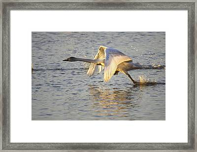 Juvenile Whooper Swan Taking Off Framed Print
