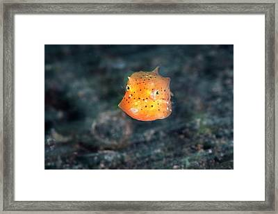 Juvenile Yellow Boxfish Framed Print by Ethan Daniels