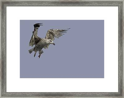 Juvenille Herring Gull Framed Print by Andy Astbury