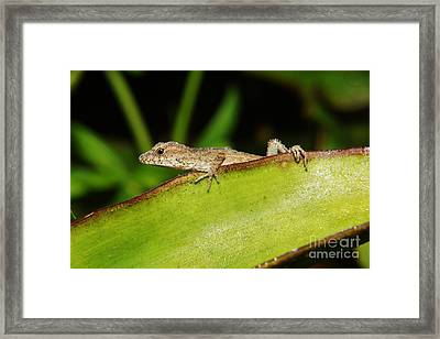 Juvie Brown Anole Framed Print by Lynda awson-Youngclaus