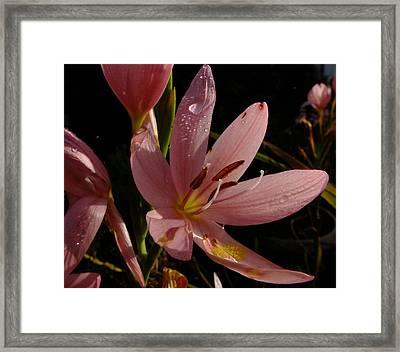Kaffir Lily Framed Print