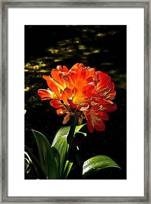 Kafir Lily Framed Print