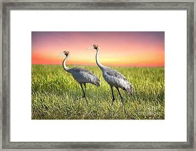 Kakadu Brolgas Framed Print by Shannon Rogers