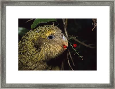 Kakapo Feeding On Supplejack Berries Framed Print