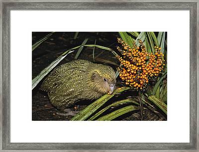 Kakapo Flightless Feeding On Astelia Framed Print