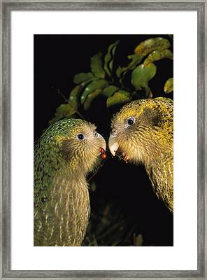 Kakapos Playing Codfish Island New Framed Print