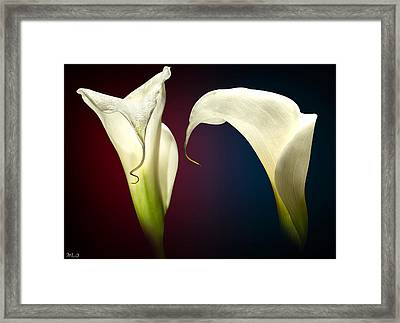Cala Lily 3 Framed Print by Mark Ashkenazi