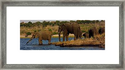 Framed Print featuring the photograph Kalahari Elephants Preparing To Cross Chobe River by Amanda Stadther