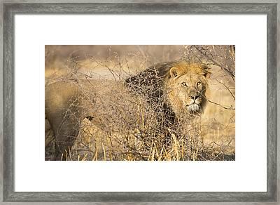 Kalahari King #1 Framed Print by Andy-Kim Moeller