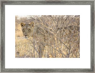 Kalahari Queen No 1 Framed Print by Andy-Kim Moeller