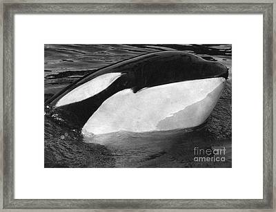 Kandu Orca Seattle Aquarium 1969 Pat Hathaway Photo Killer Whale Seattle Framed Print by California Views Mr Pat Hathaway Archives