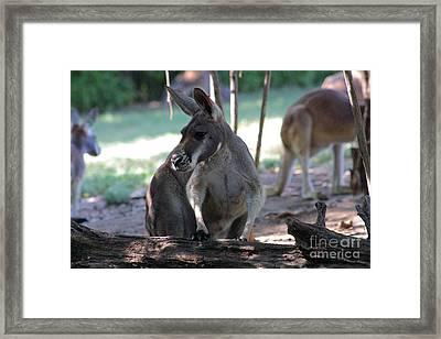 Kangaroo-2 Framed Print by Gary Gingrich Galleries
