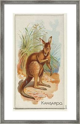 Kangaroo, From The Quadrupeds Series Framed Print by Allen & Ginter
