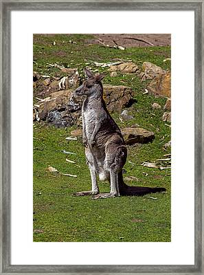 Kangaroo Framed Print by Garry Gay