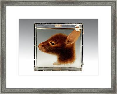 Kangaroo Head Framed Print by Ucl, Grant Museum Of Zoology
