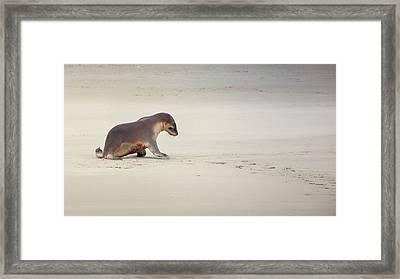 Kangaroo Island, Australia, Sea Lion Pup Framed Print
