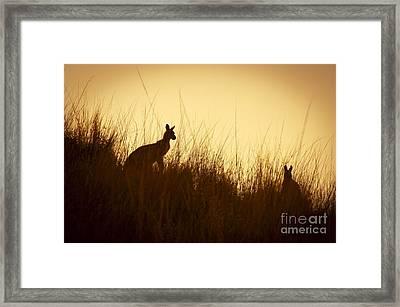 Kangaroo Silhouettes Framed Print by Tim Hester
