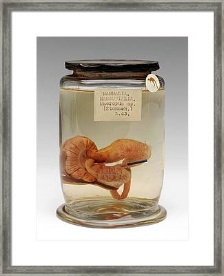 Kangaroo Stomach Specimen Framed Print by Ucl, Grant Museum Of Zoology