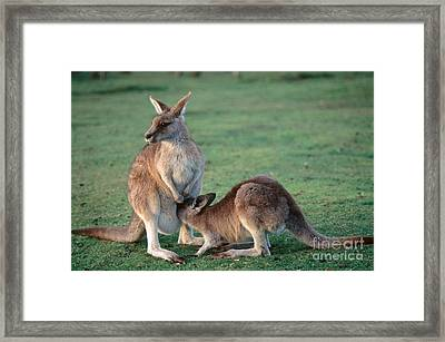 Kangaroo With Joey Framed Print