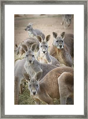 Kangaroos Waga Waga Australia Framed Print by Jim Julien