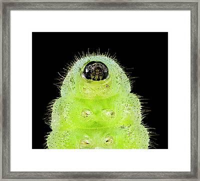 Karner Blue Caterpillar Framed Print by Us Geological Survey