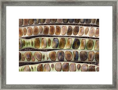 Kassod Tree Seed Pods Pattern Framed Print by Tim Gainey