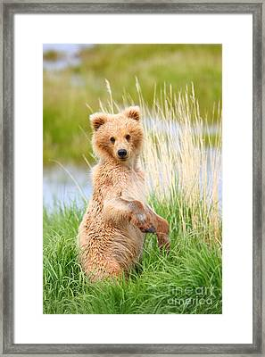Katmai Cub Framed Print