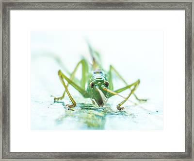 Katydid Framed Print by Carl Engman