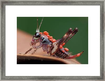 Katydid Covered With Mites Framed Print