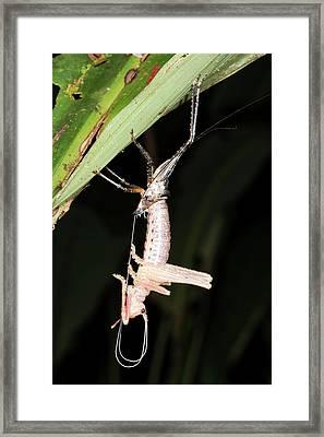 Katydid Ecdysis Framed Print