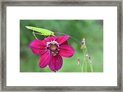 Katydid On A Flower Framed Print