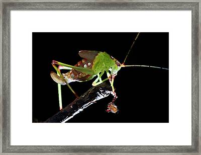 Katydid With Pseudoscorpion Framed Print